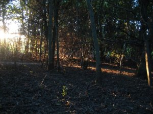 Sunlight through woodland