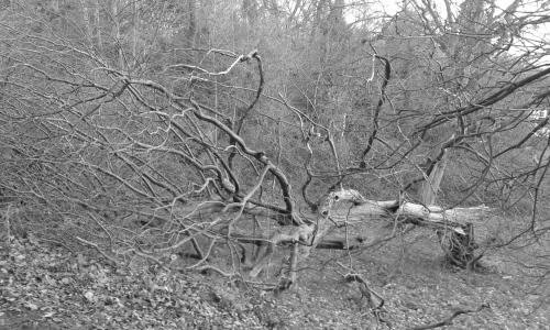 Fallen tree in park